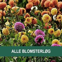 Alle Blomsterløg