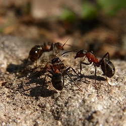 Myre Bekæmpelse