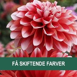 Blomster Med Farveskift