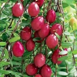 Frugt/Bær