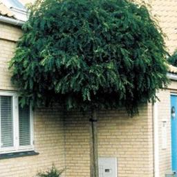 Kugleformede træer