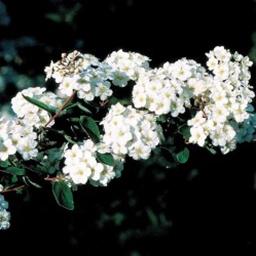 Mellemhøje buske (1,5-3m)