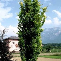 Søjleformede træer