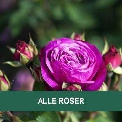 roser på nettet