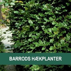 Barrods hækplanter