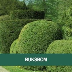 Buksbom