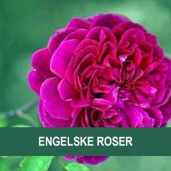 billige roser online