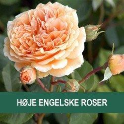 Høje engelske roser