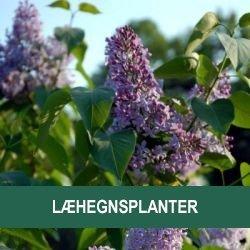 Læhegnsplanter