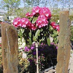 Rhododendron opstammet