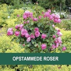 Opstammet Rose