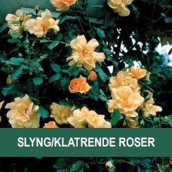 Slyng/klatre roser