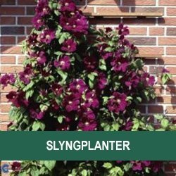 Slyngplanter