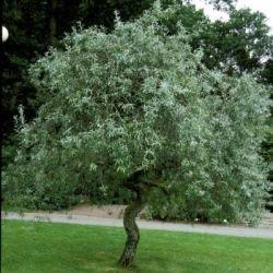 minitræer til haven
