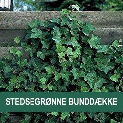 Stedsegrønne bunddække