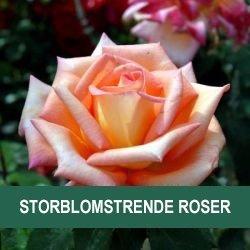 Storblomstrende roser