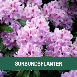 Surbundsplanter