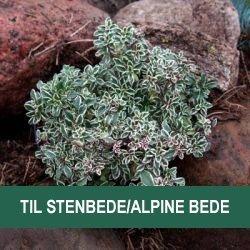 Velegnet til stenbede/alpine bede