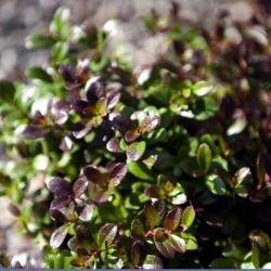 Surbundsplanter til bunddække