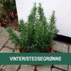 Vinter/Stedsegrønne