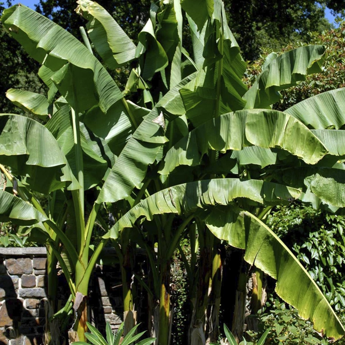 Tidssvarende Bananpalme (Musa basjoo) FO-58