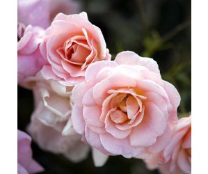Dronning magrethe rose