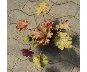Alunrod Heuchera Ginger Peach
