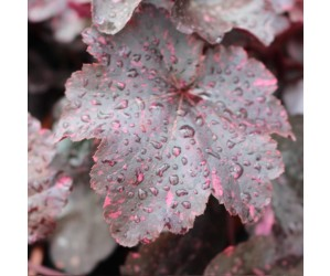 Alunrod (Heuchera hybrid 'Midnight Rose')