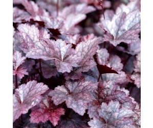 Alunrod Heuchera Americana Palace Purple