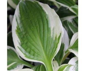 Funkia (Hosta 'Patriot') 9 cm potte