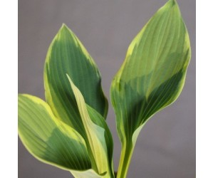 Hosta Regal Spendor