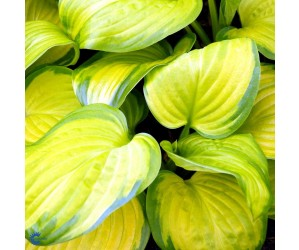 Funkia (Hosta for. 'Stained Glass') 9 cm potte