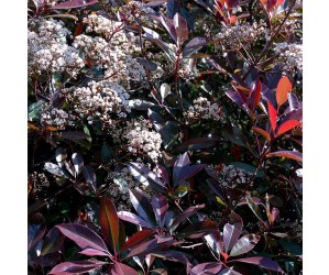 Photinia fraseri Red Robin busk