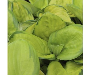 hosta Rainforest sunrice