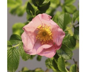 Dagmar Hastrup rose