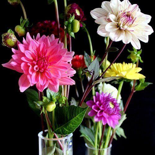 Dahlia i vase