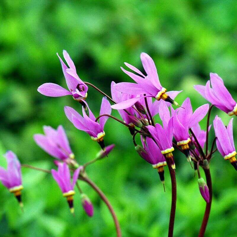Gudeblomst (Dodecatheon meadia)