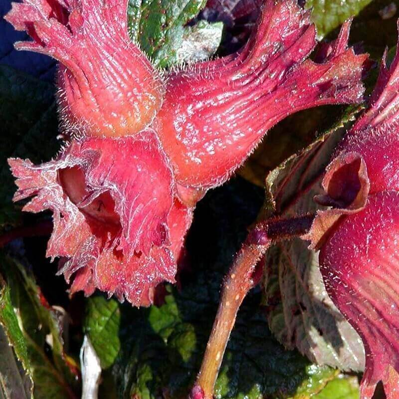 Hassel (Corylus avellana 'Rode Zellernoot')