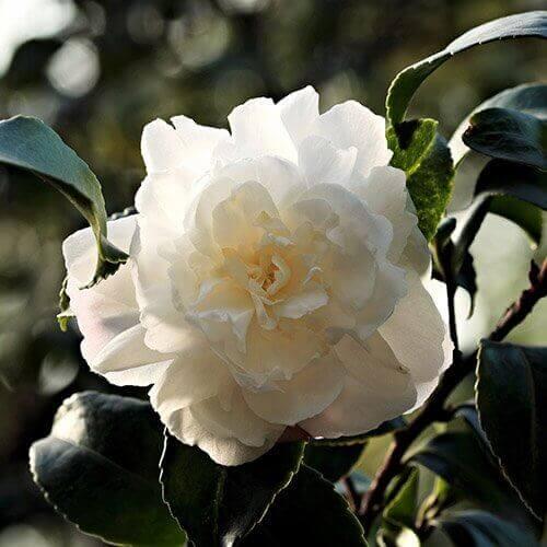 Hvid Kamelia
