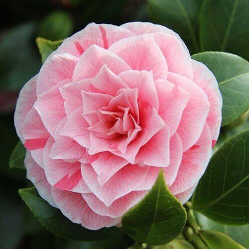 Rosa Kamelia