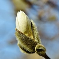 Magnolia Gul
