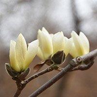 Gule magnolia knopper